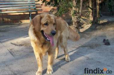 Ballverliebter & gut erzogener Golden Retriever (2 1/2)
