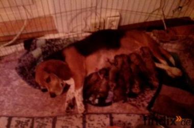 Beagle lahsna apso welben