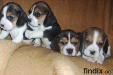 Beagle-u. MINI-Beagle-Babies m. Pap., geimpft, gechipt