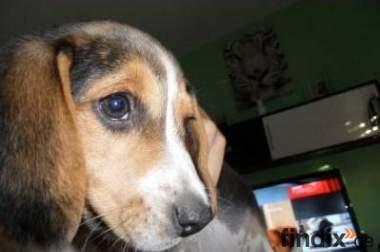 Beagle Welpe, 13Wochen