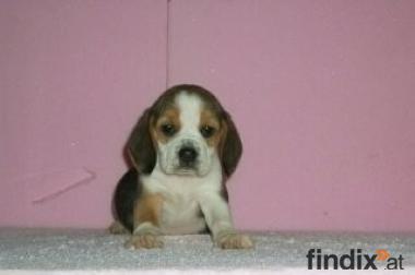 Beagle Welpe zu Verkaufen
