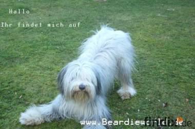 Bearded Collie Welpen