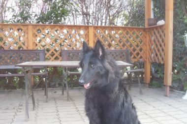 Belgian Shepherd Dog