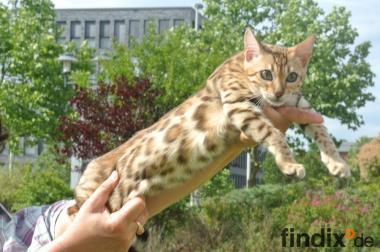 Bengal. Babys   Katzen  Bengalkatzen  Kätzchen  Bengalen  Kitten.