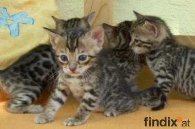 Bengal Kätzchen zum Verkauf bereit für x-Masse