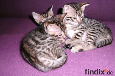 Bengal-Kitten aus liebevoller Familienaufzucht Ende März Abgabe