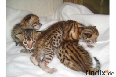 Bengal- Kitten kleine Leoparden