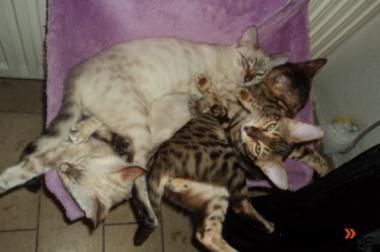 Bengalen und Bengalinen :) Bengal Kitten Katzen Kater Katze