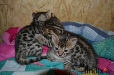 Bengalkatzen mit XXL Rosetten von BENGALIA