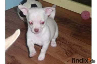 Bezaubernde KH Chihuahua Welpen in versch.Farben