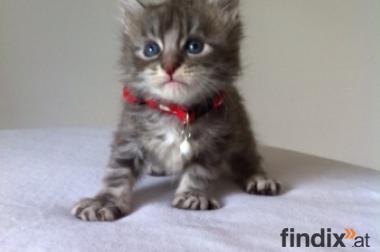 Bezaubernde Maine Coon Kitten mit Stammbaum