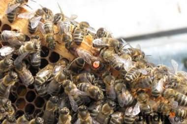 Bienen zu verkaufen in Mögglingen (Postleitzahl:73563)