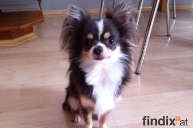Süßer und reinrassigen mini langhaar Chihuahua DECKRÜDE !!!