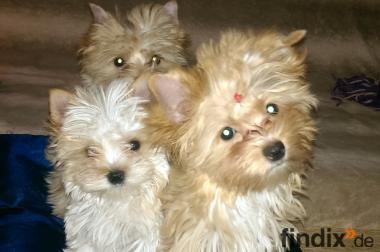 Biewer und Golddust Yorkshire Terrier