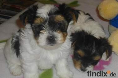 Biewer Yorkshire Terrier-Welpen