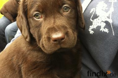 Bildhübsche Labradorwelpen