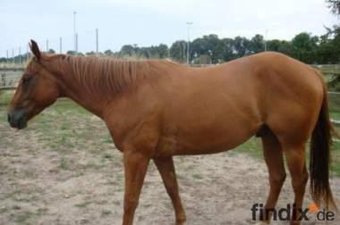 bildhübscher, lieber Quarter Horse Wallach