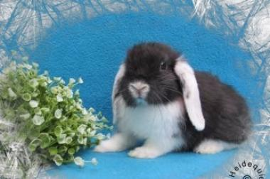 bildhübscher NHD Kaninchen Nachwuchs