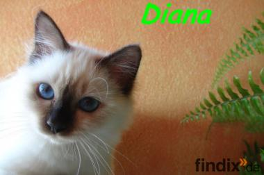 Birmakitten  Diana of white Grace