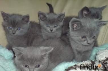 BKH Blau 4 Kitten: 2 Weibch. 2 Mänchen