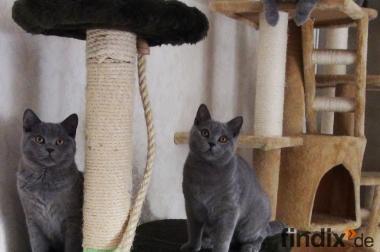 BKH-Kätzchen, suchen ab sofort liebevolles neues Zuhause