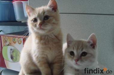 BKH Kätzchen(cream und rot-tabby)