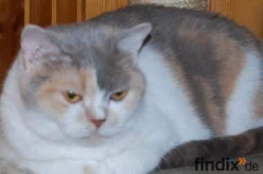 BKH Katze mit Papieren 3 Jahre alt abzugeben