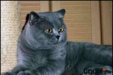 BKH Katzen in blau,creme und blau-creme