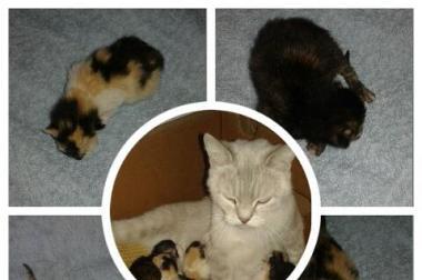 BKH Mix Katzenbabys