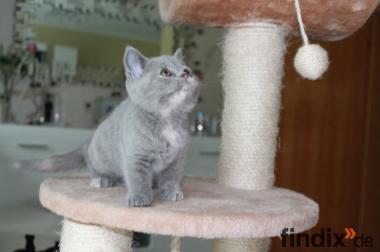 BKH Kitten 270 €