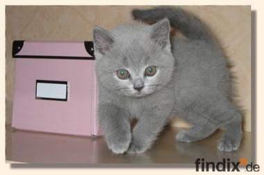 BKH Kitten in blau und black-silver-classic tabby !!!