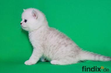 ღ♥ஐBKH -wunderschöne Polarfüchse mit Stammbaumஐ๑♥ღ
