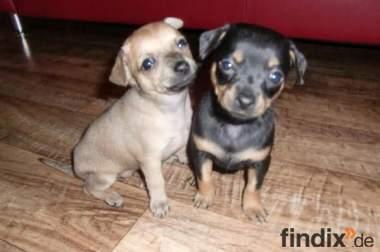 Blauäugige Chihuahua Mix Welpen abzugeben