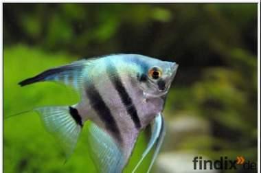 Blauskalar / Blue Pearl Skalar, a deutscher Nachzucht, TOP Tiere