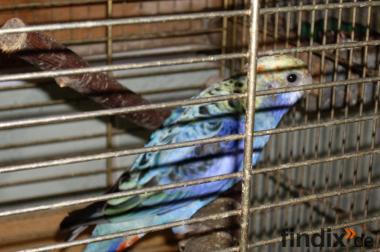 Blauwangenrosellas