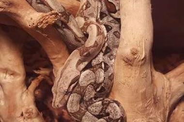 Boa Constrictor Babys (Albinoträger)