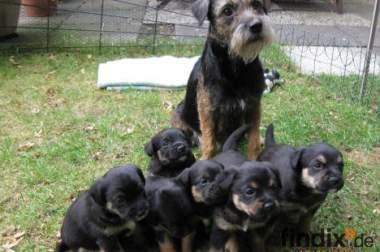 Border Terrier Welpen zu verkaufen