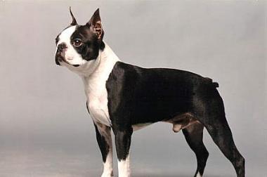 Boston Terrier Welpe gesucht