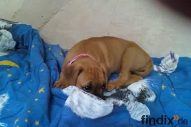 Boxer- französische bulldogge mischlings welpe