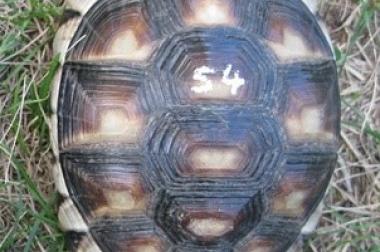 Breitrandschildkröte 4 Jahre