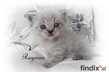 Britisch Kurzhaar, Big Brother Paul & little Rayman