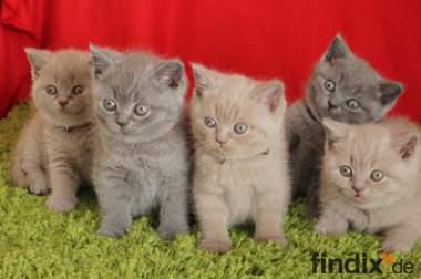 Britisch Kurzhaar BKH Kitten aus exelenter Zucht zu verkaufen
