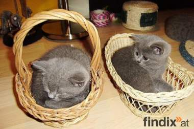 Britisch Kurzhaar Kätzchen zum Verkauf