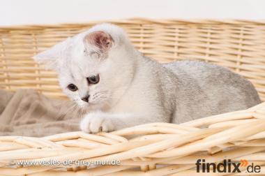 Britisch Kurzhaar Kitten in der Farbe Silver Shaded