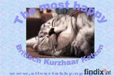 Britisch Kurzhaar Kitten - Silvertabby