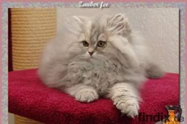 Britische Langhaar Kitten