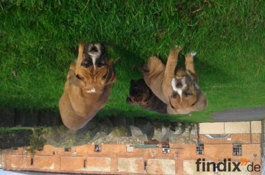 Bulldog Welpen Preis: VB