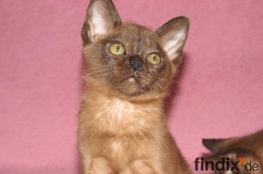 Burma Kitten von der Liebessphaere