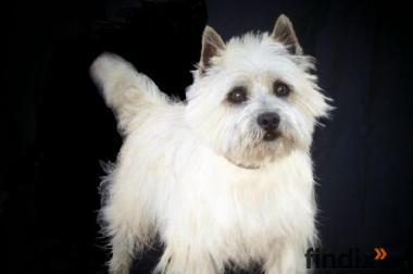 Cairn-Terrier-Welpen
