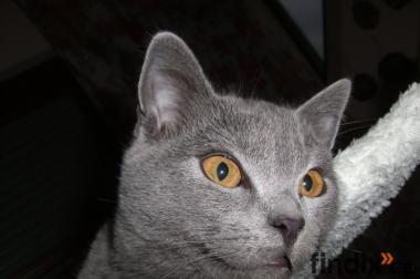 Chartreux, Kartaeuser, reinrassige Kitten